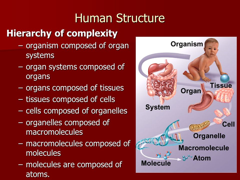 Human Structure Hierarchy of complexity –organism composed of organ systems –organ systems composed of organs –organs composed of tissues –tissues com