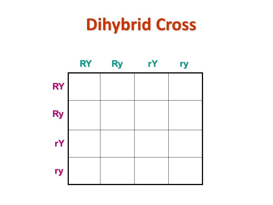 Dihybrid Cross copyright cmassengale23RYRyrYry RYRy rY ry