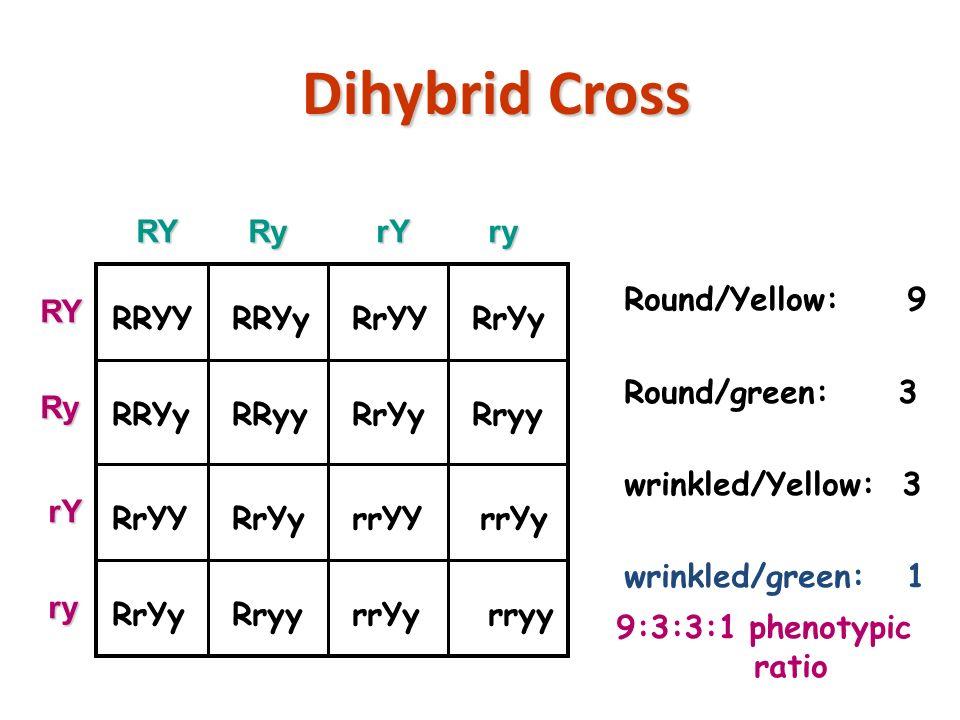 Dihybrid Cross copyright cmassengale24 RRYY RRYy RrYY RrYy RRYy RRyy RrYy Rryy RrYY RrYy rrYY rrYy RrYy Rryy rrYy rryy Round/Yellow: 9 Round/green: 3