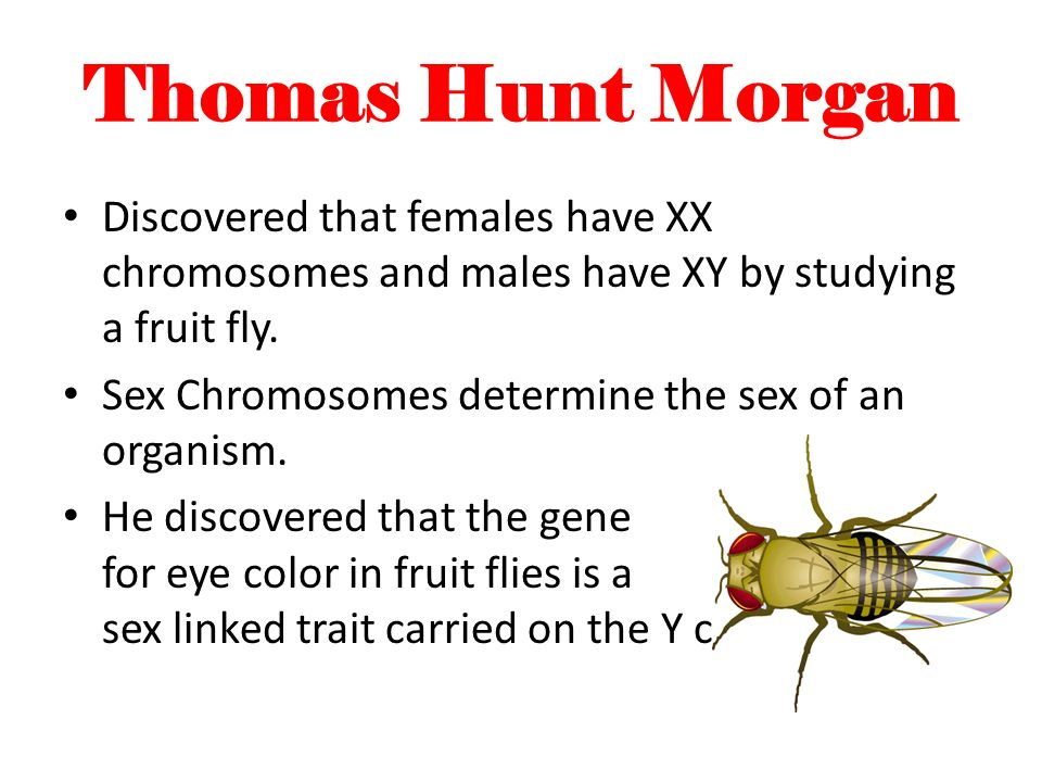 Thomas Hunt Morgan Discovered that females have XX chromosomes and males have XY by studying a fruit fly. Sex Chromosomes determine the sex of an orga