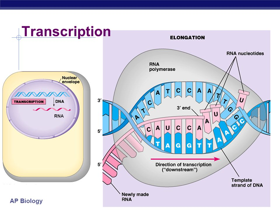 AP Biology 2005-2006 Transcription in Prokaryotes Elongation RNA polymerase unwinds DNA ~20 base pairs at a time reads DNA 3 5 builds RNA 5 3 (the ene