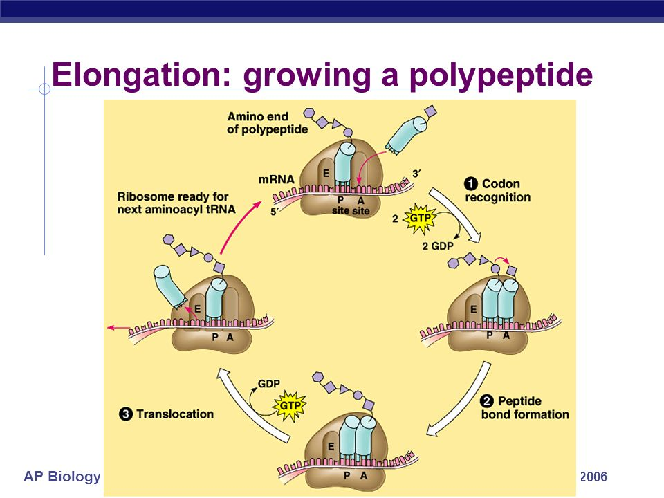 AP Biology 2005-2006 Building a polypeptide Initiation brings together mRNA, ribosome subunits, proteins & initiator tRNA Elongation Termination