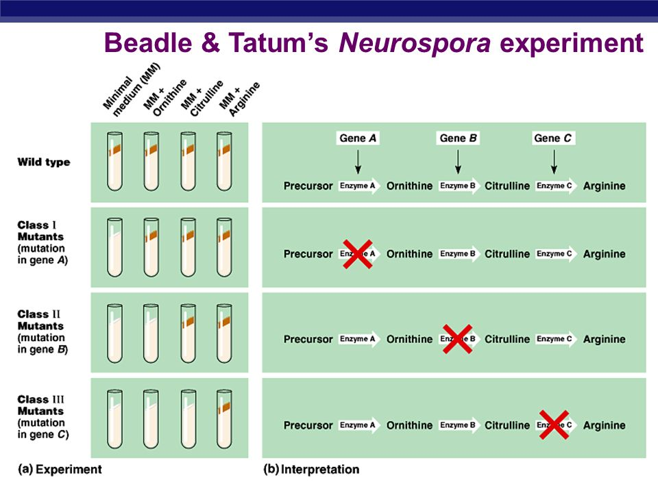 AP Biology 2005-2006 Beadle & Tatums Neurospora experiment