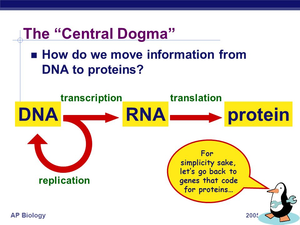AP Biology 2005-2006 proteinRNA The Central Dogma DNA transcriptiontranslation replication How do we move information from DNA to proteins.