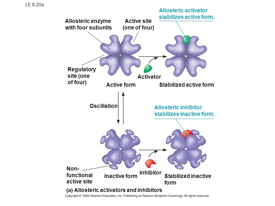Allosteric Activation and Inhibition Most allosterically regulated enzymes are made from polypeptide subunits Each enzyme has active and inactive form