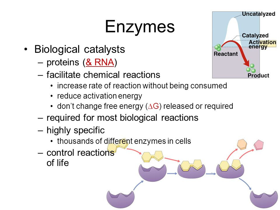 Catalysts So whats a cell got to do to reduce activation energy? –get help! … chemical help… ENZYMES G Call in the ENZYMES!