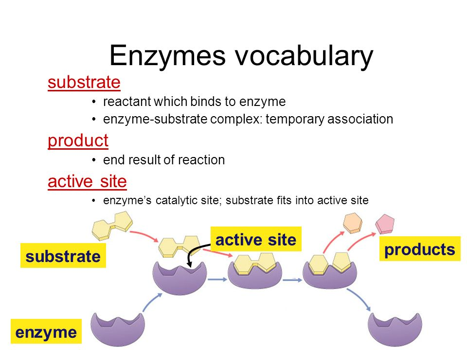Enzymes Biological catalysts –proteins (& RNA) –facilitate chemical reactions increase rate of reaction without being consumed reduce activation energ