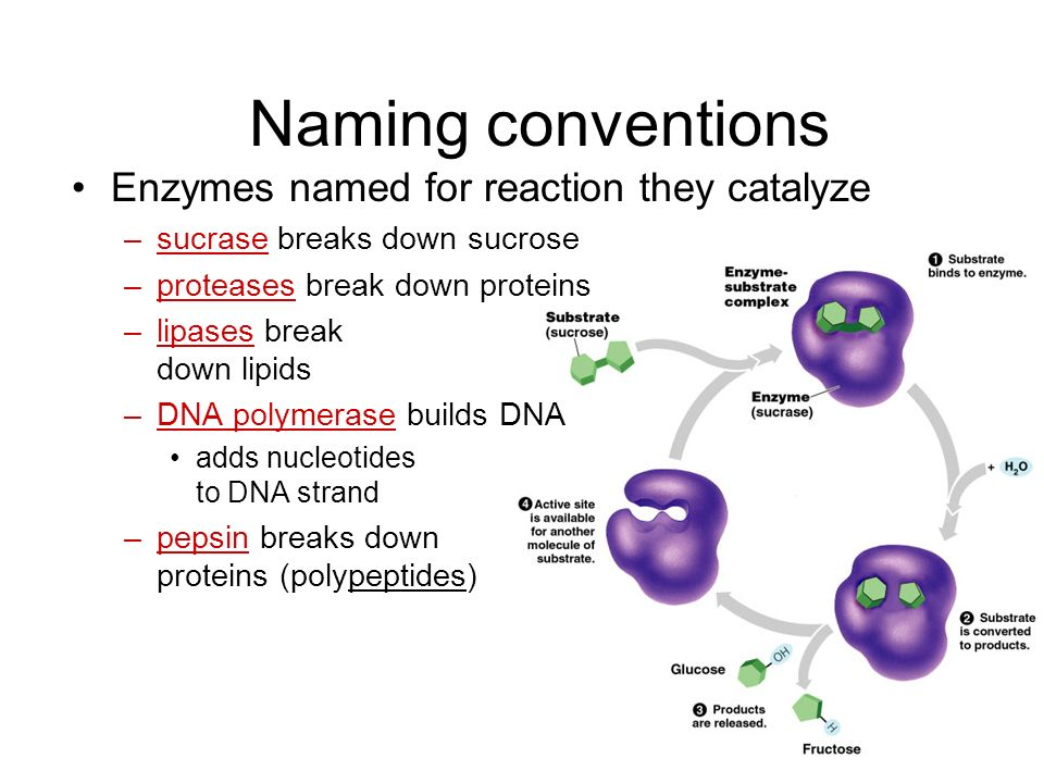 Properties of enzymes Reaction specific –each enzyme works with a specific substrate chemical fit between active site & substrate –H bonds & ionic bon