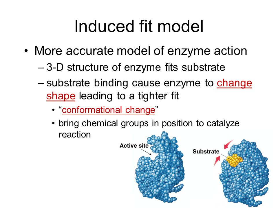Lock and Key model Simplistic model of enzyme action –substrate fits into 3-D structure of enzyme active site H bonds between substrate & enzyme –like