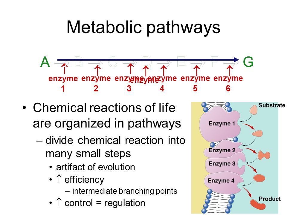Allosteric regulation Conformational changes by regulatory molecules –inhibitors keeps enzyme in inactive form –activators keeps enzyme in active form