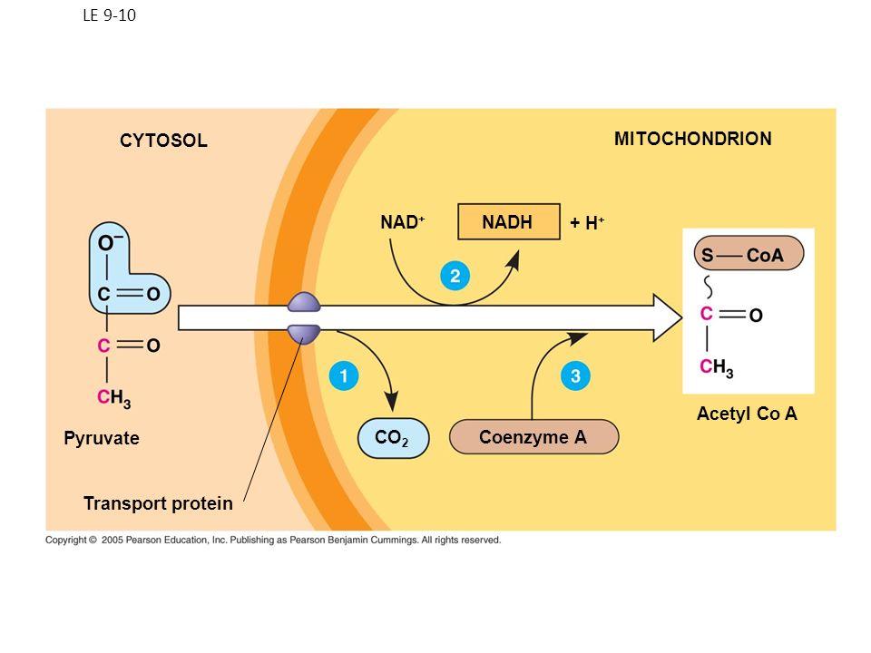 Fig: 9.12 Krebs Cycle Simplified