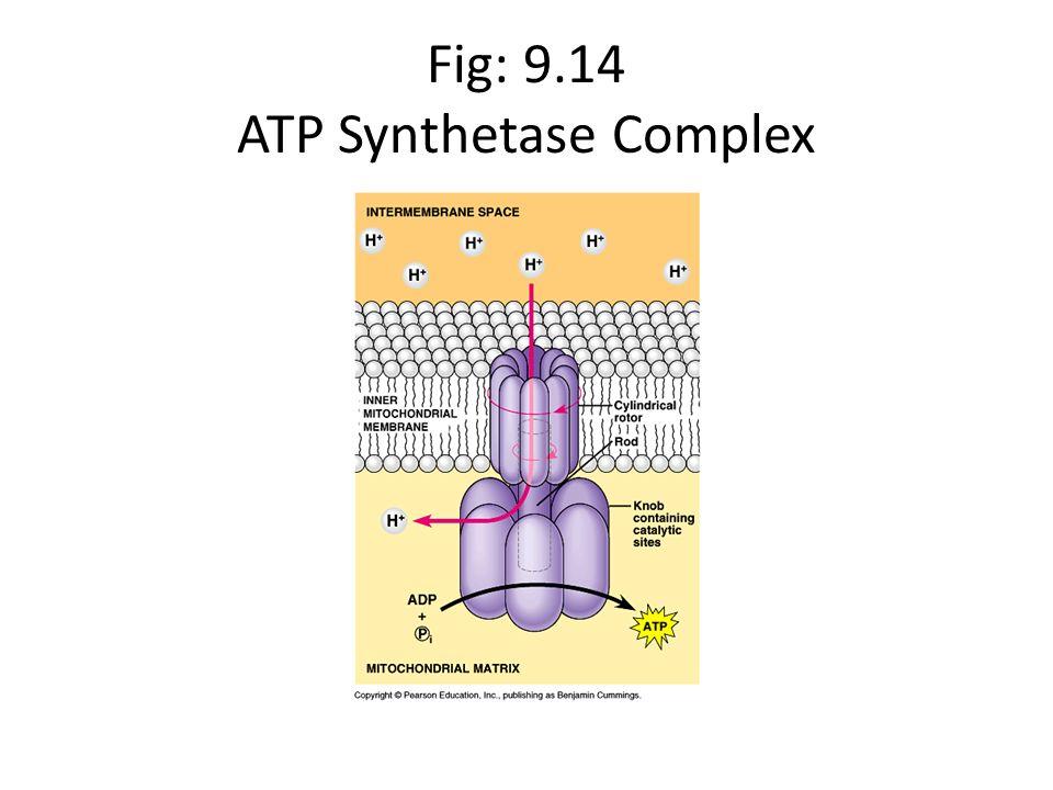 Fig: 9.14 ATP Synthetase Complex