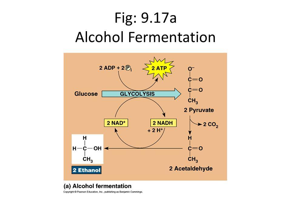 Fig: 9.17b Lactic Acid Fermentation