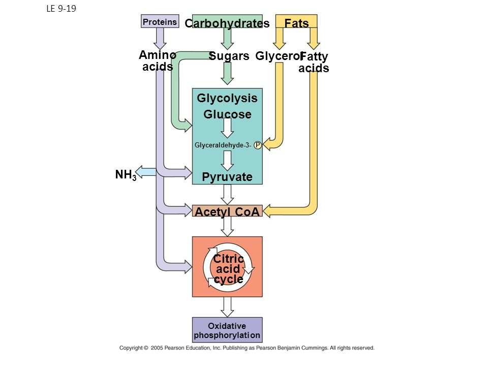 LE 9-19 Citric acid cycle Oxidative phosphorylation Proteins NH 3 Amino acids Sugars Carbohydrates Glycolysis Glucose Glyceraldehyde-3- P Pyruvate Ace