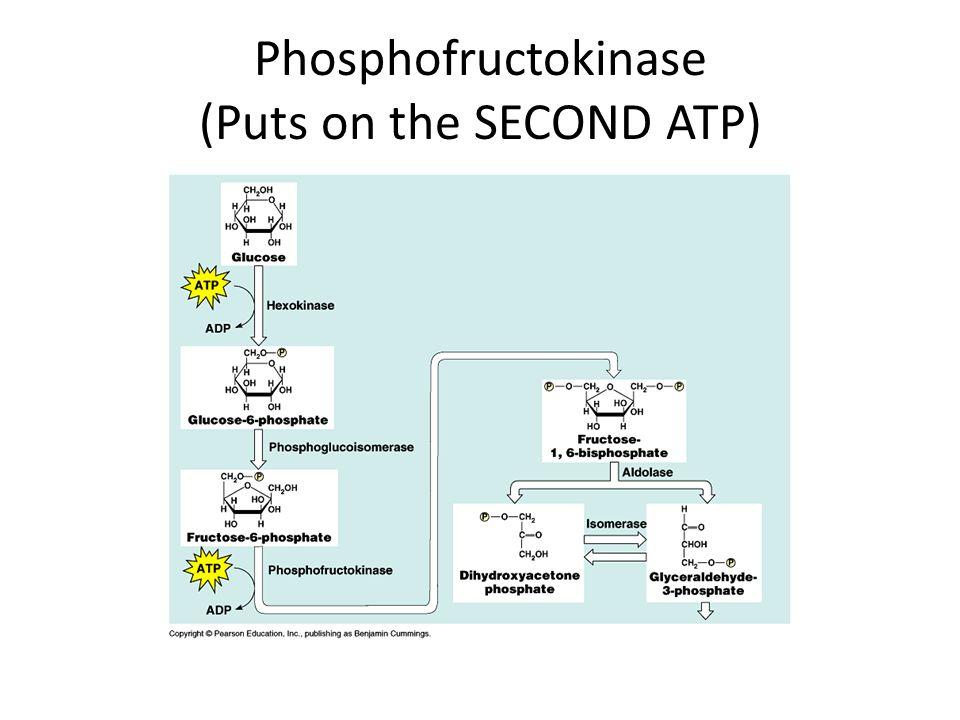 Phosphofructokinase (Puts on the SECOND ATP)