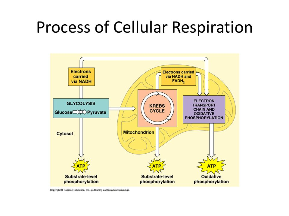 Process of Cellular Respiration