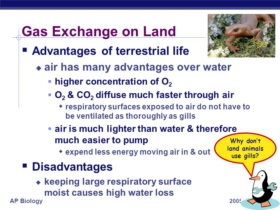 AP Biology 2005-2006 Gas Exchange on Land Advantages of terrestrial life air has many advantages over water higher concentration of O 2 O 2 & CO 2 dif