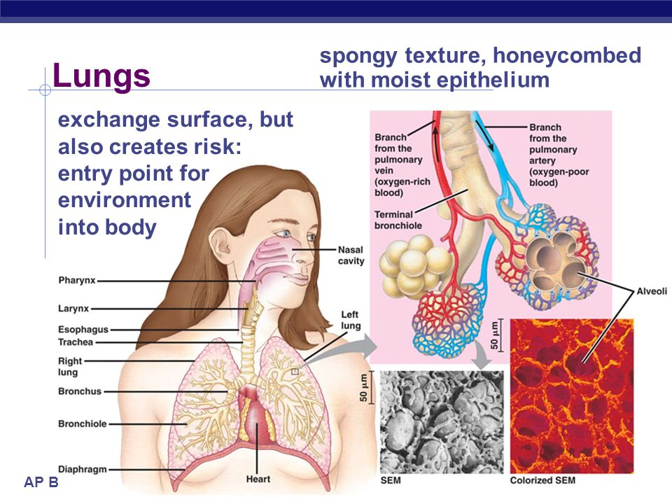 AP Biology 2005-2006 Lungs exchange surface, but also creates risk: entry point for environment into body spongy texture, honeycombed with moist epith