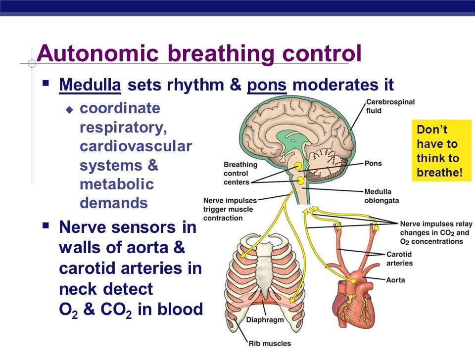 AP Biology 2005-2006 Autonomic breathing control Medulla sets rhythm & pons moderates it coordinate respiratory, cardiovascular systems & metabolic de