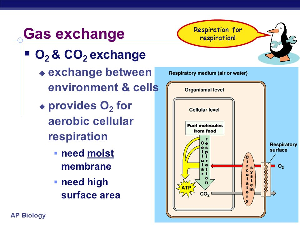 AP Biology 2005-2006 Optimizing gas exchange Why high surface area.