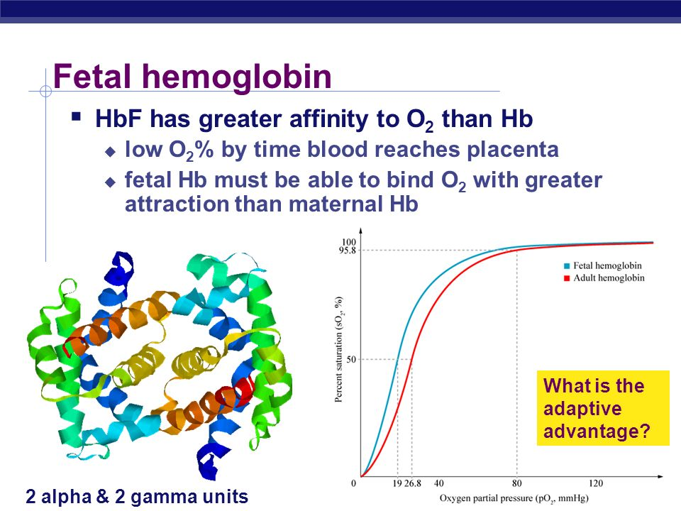 AP Biology 2005-2006 Fetal hemoglobin What is the adaptive advantage? 2 alpha & 2 gamma units HbF has greater affinity to O 2 than Hb low O 2 % by tim