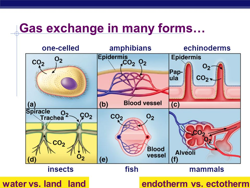 AP Biology 2005-2006 Gas exchange in many forms… one-celledamphibiansechinoderms insectsfishmammals endotherm vs. ectothermwater vs. land