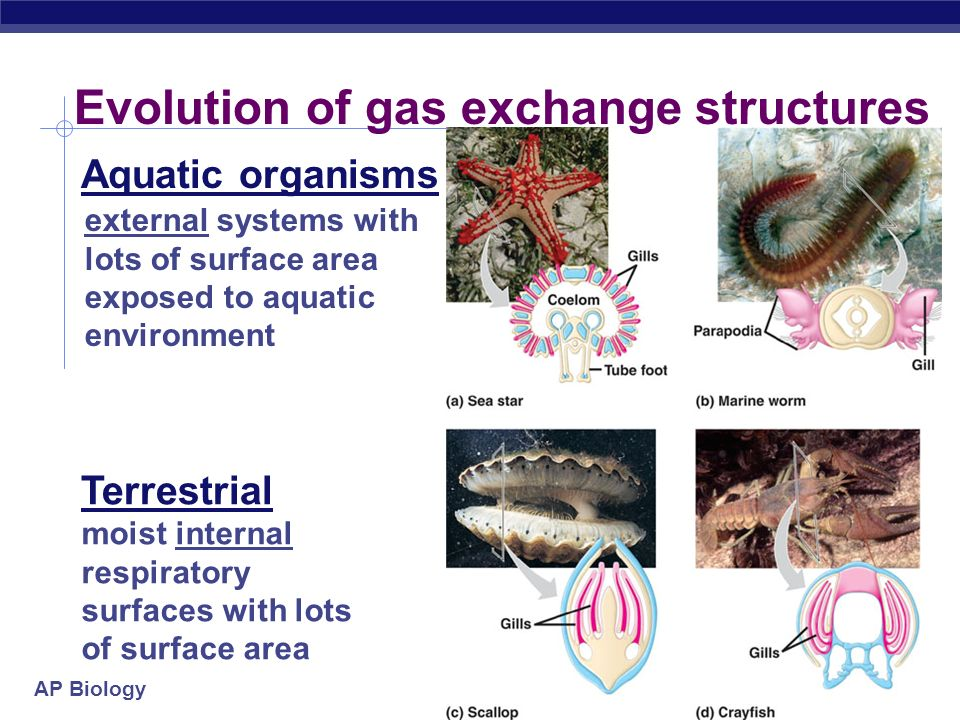 AP Biology 2005-2006 Evolution of gas exchange structures external systems with lots of surface area exposed to aquatic environment Aquatic organisms