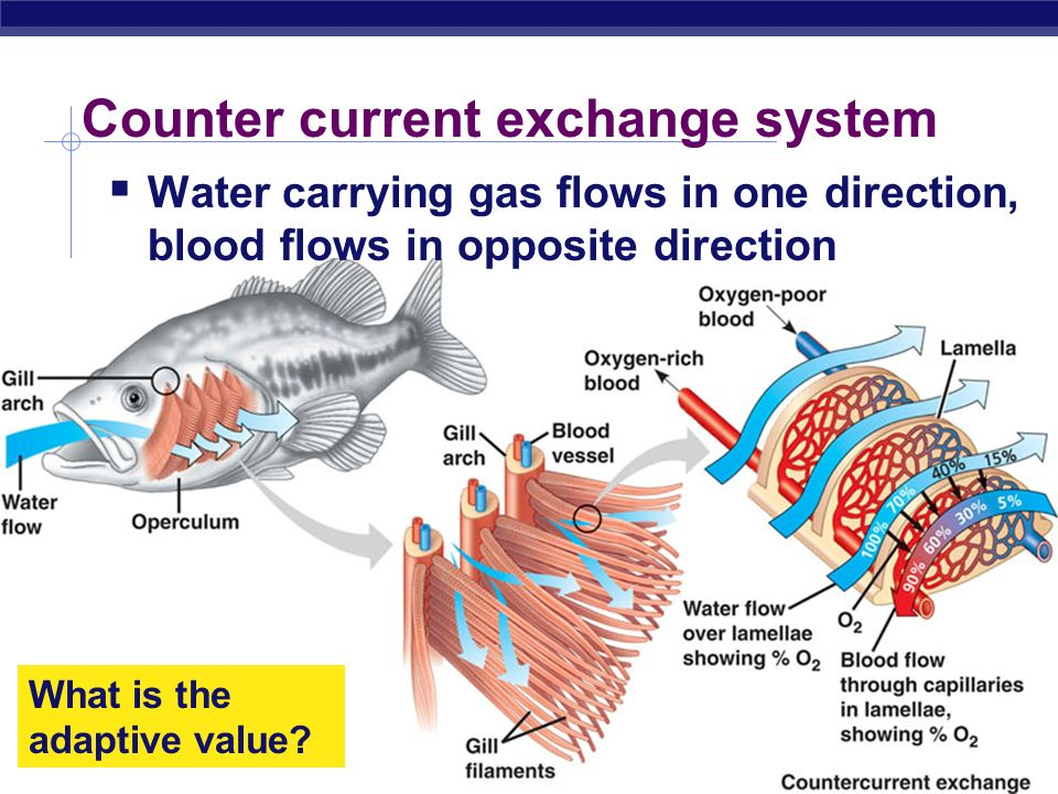 AP Biology 2005-2006 water blood How counter current exchange works Blood & water flow in opposite directions Maintains diffusion gradient over whole length of gill capillary maximizing O 2 transfer from water to blood frontback blood 100% 15% 5% 90% 70%40% 60%30% 100% 5% 50% 70% 30% water counter- current concurrent