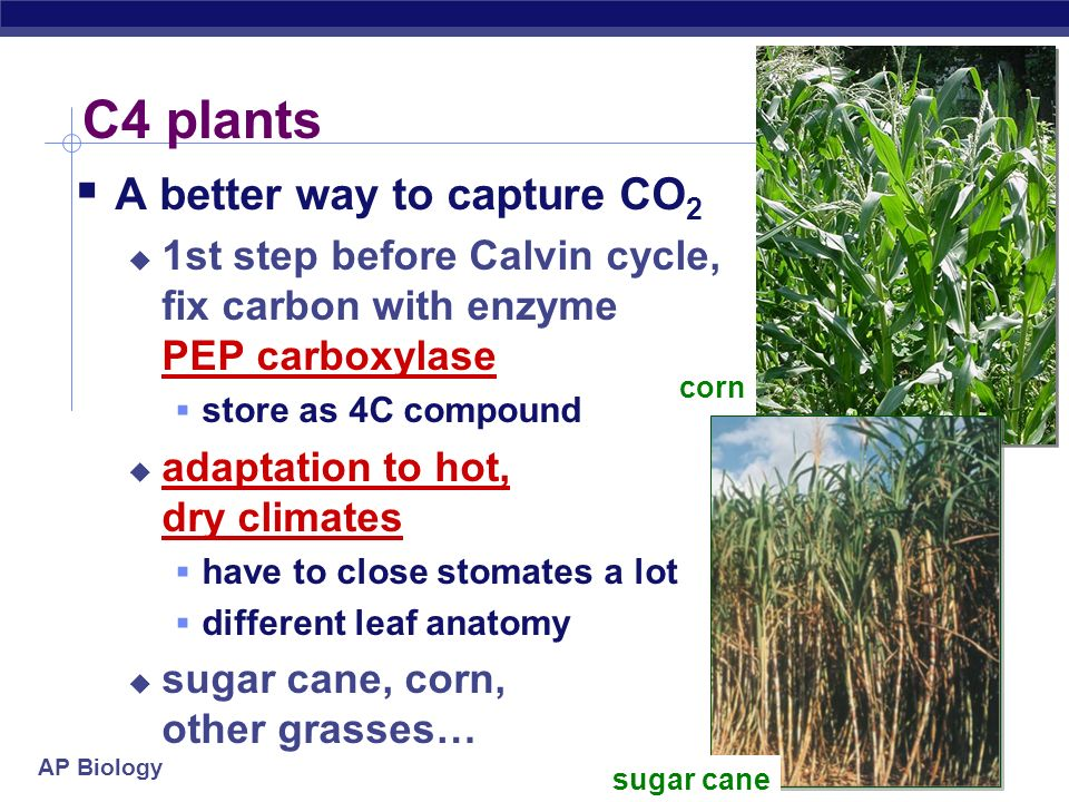 AP Biology Reducing photorespiration Separate carbon fixation from Calvin cycle C4 plants PHYSICALLY separate carbon fixation from Calvin cycle differ