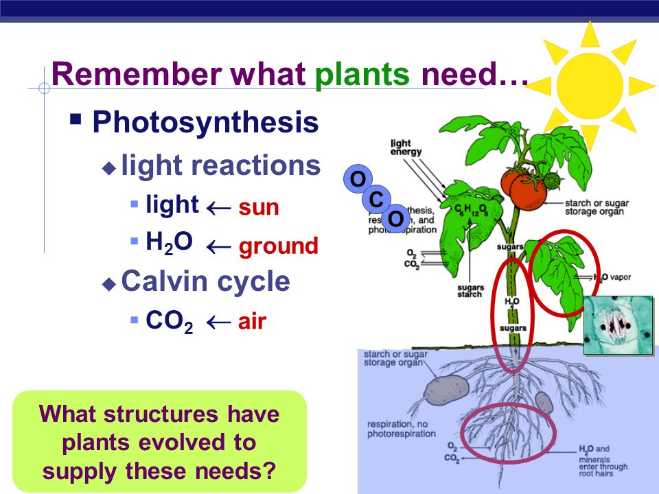 AP Biology 2007-2008 Photosynthesis: Variations on the Theme