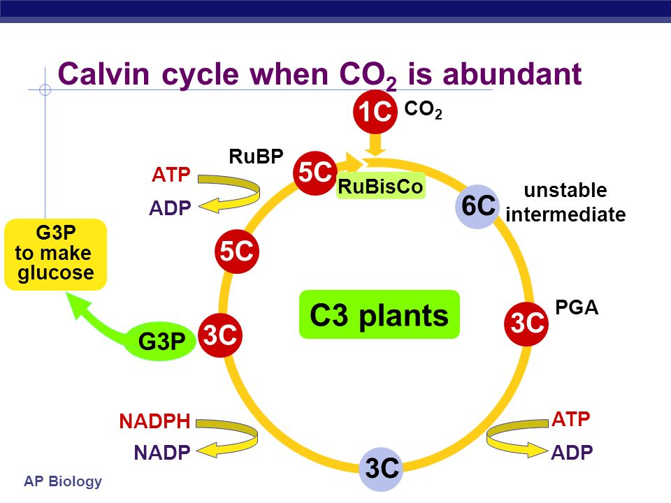 AP Biology Inefficiency of RuBisCo: CO 2 vs O 2 RuBisCo in Calvin cycle carbon fixation enzyme normally bonds C to RuBP CO 2 is the optimal substrate
