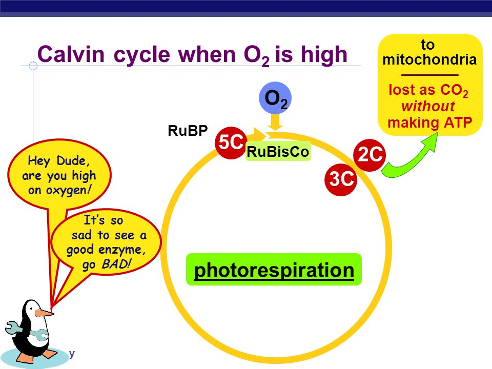 AP Biology 6C unstable intermediate 1C CO 2 Calvin cycle when CO 2 is abundant 5C RuBP 3C PGA ADP ATP 3C NADP NADPH ADP ATP G3P to make glucose 3C G3P