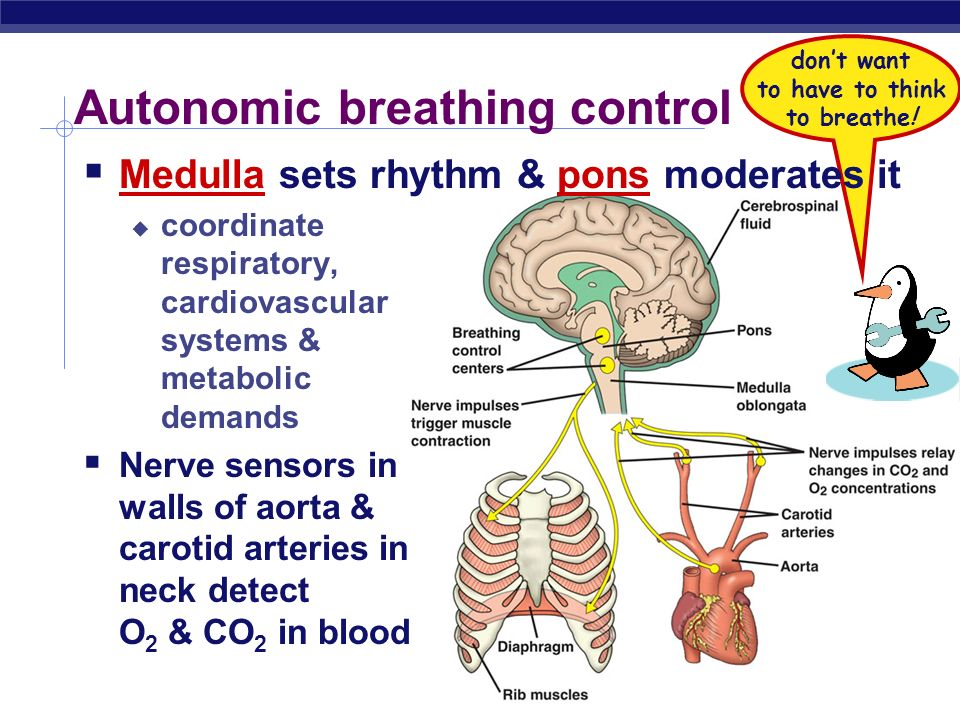 AP Biology Mechanics of breathing Air enters nostrils filtered by hairs, warmed & humidified sampled for odors Pharynx glottis larynx (vocal cords) tr