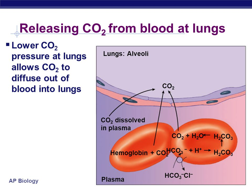 AP Biology Transporting CO 2 in blood Tissue cells Plasma CO 2 dissolves in plasma CO 2 combines with Hb CO 2 + H 2 OH 2 CO 3 H+ + HCO 3 – HCO 3 – H 2