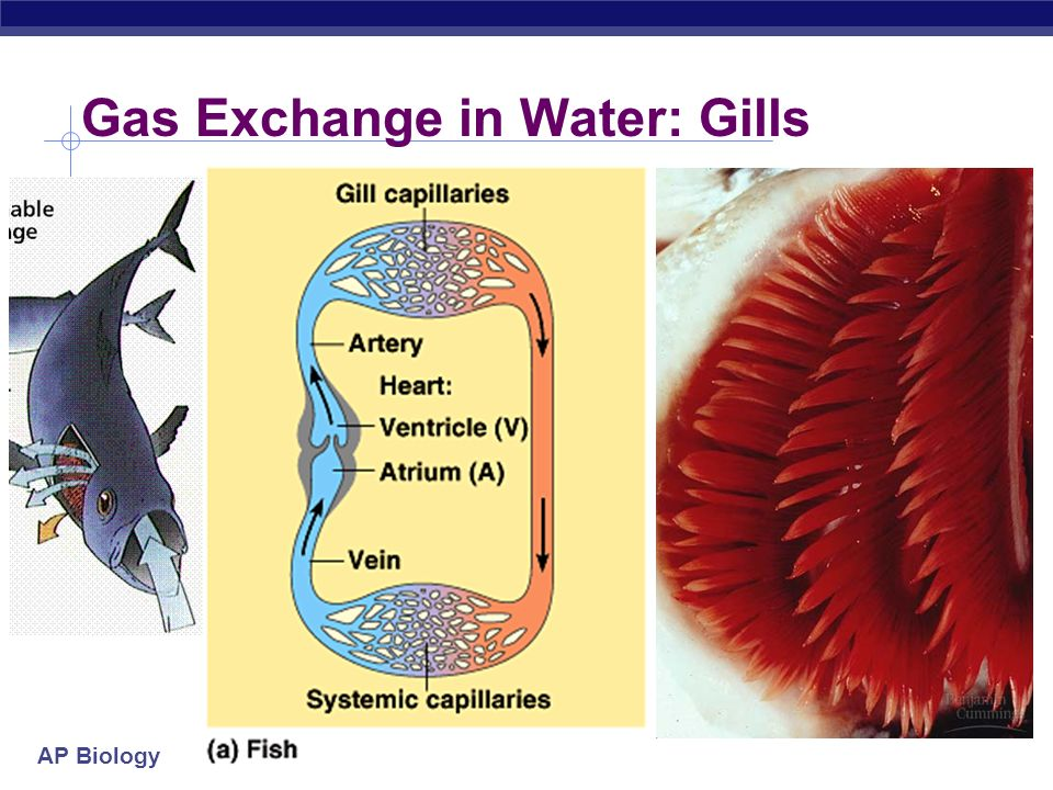 AP Biology Evolution of gas exchange structures external systems with lots of surface area exposed to aquatic environment Aquatic organisms moist inte