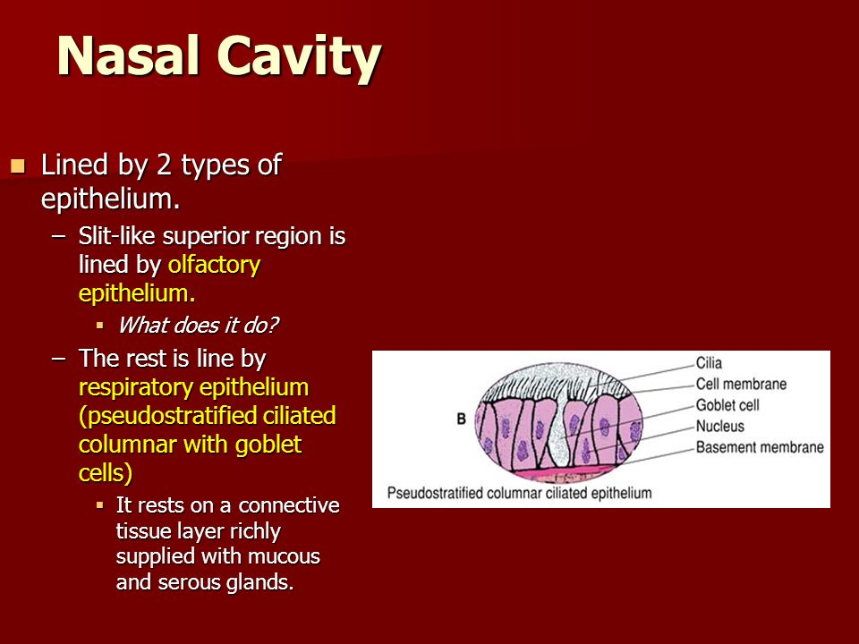 Nasal Cavity Lined by 2 types of epithelium. Lined by 2 types of epithelium. –Slit-like superior region is lined by olfactory epithelium. What does it