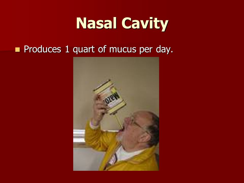 Nasal Cavity Produces 1 quart of mucus per day. Produces 1 quart of mucus per day.