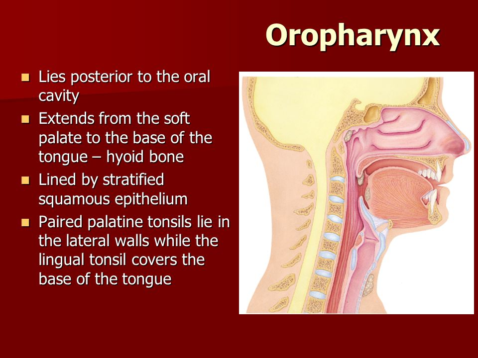 Oropharynx Lies posterior to the oral cavity Lies posterior to the oral cavity Extends from the soft palate to the base of the tongue – hyoid bone Ext