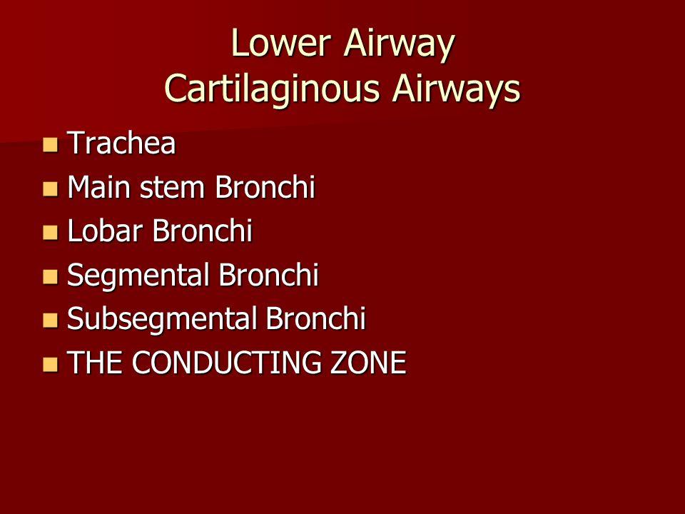 Lower Airway Cartilaginous Airways Trachea Trachea Main stem Bronchi Main stem Bronchi Lobar Bronchi Lobar Bronchi Segmental Bronchi Segmental Bronchi