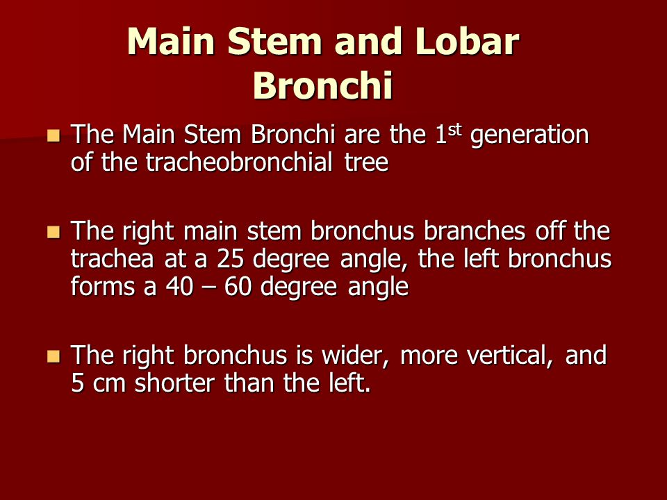 Main Stem and Lobar Bronchi The Main Stem Bronchi are the 1 st generation of the tracheobronchial tree The Main Stem Bronchi are the 1 st generation o