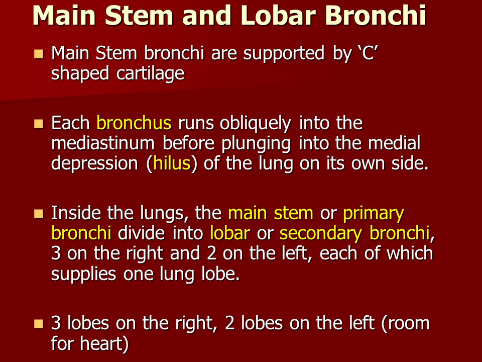 Main Stem and Lobar Bronchi Main Stem bronchi are supported by C shaped cartilage Main Stem bronchi are supported by C shaped cartilage Each bronchus