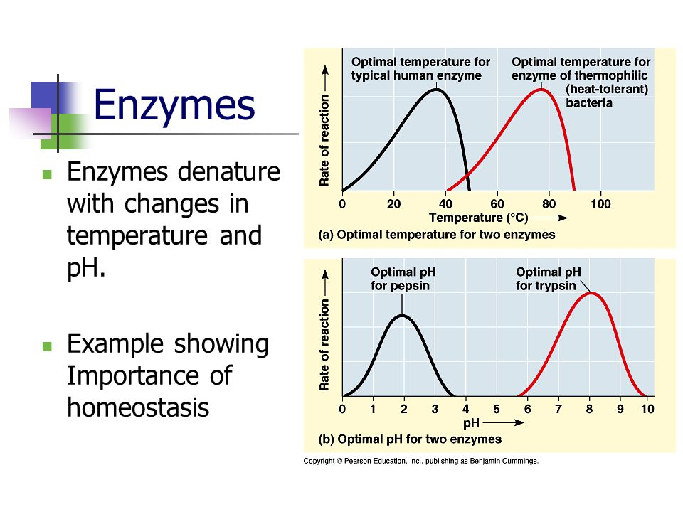 Enzymes Enzymes denature with changes in temperature and pH. Example showing Importance of homeostasis