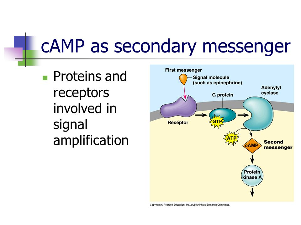 cAMP as secondary messenger Proteins and receptors involved in signal amplification