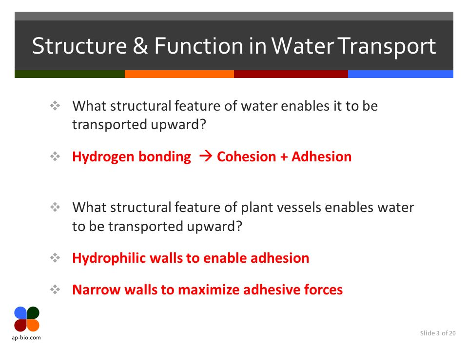 Slide 3 of 20 Structure & Function in Water Transport What structural feature of water enables it to be transported upward.