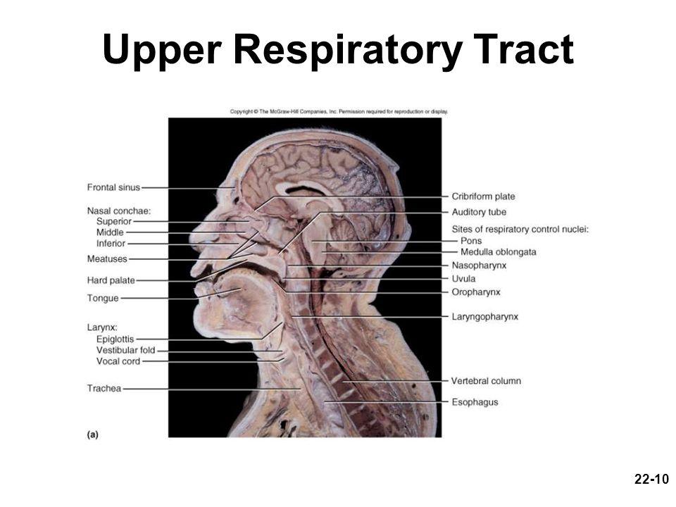22-10 Upper Respiratory Tract