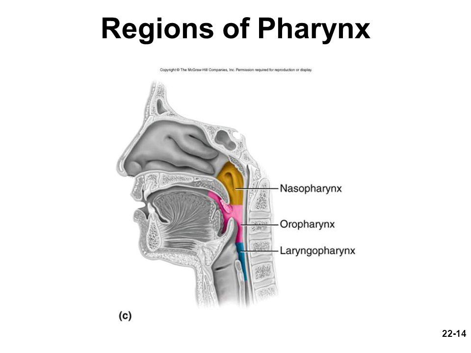 22-14 Regions of Pharynx