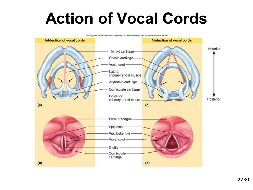 22-20 Action of Vocal Cords