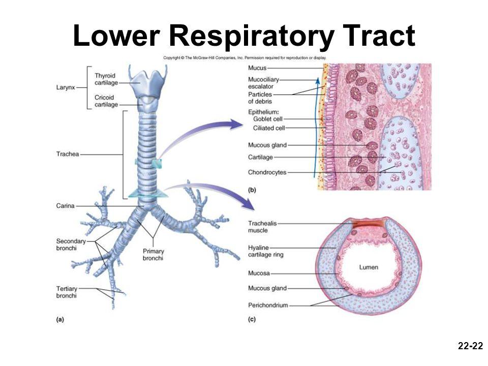 22-22 Lower Respiratory Tract