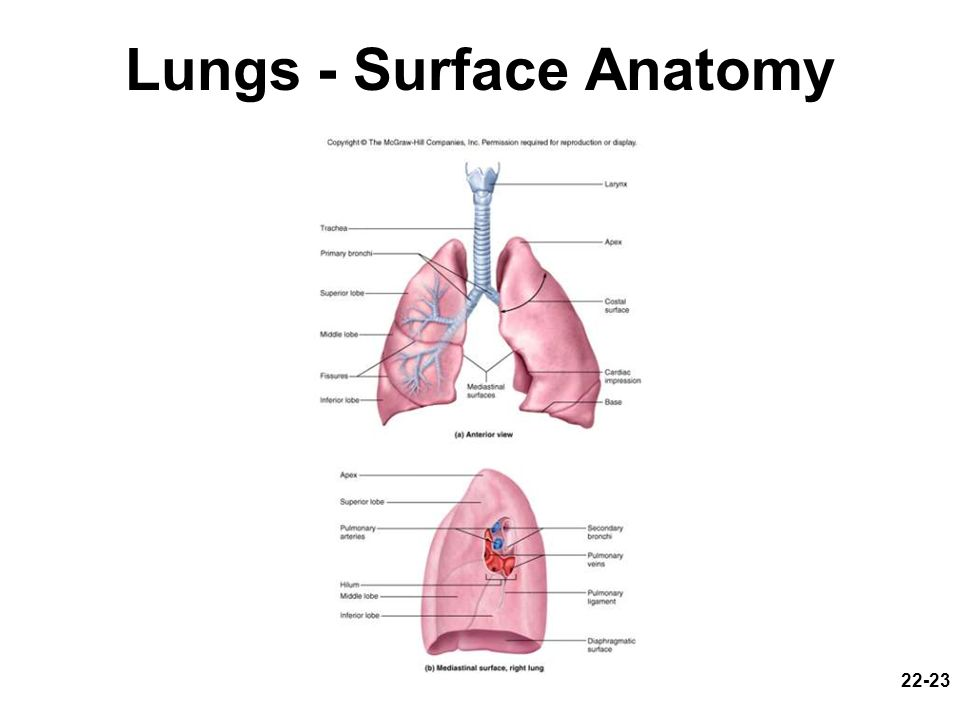 22-23 Lungs - Surface Anatomy