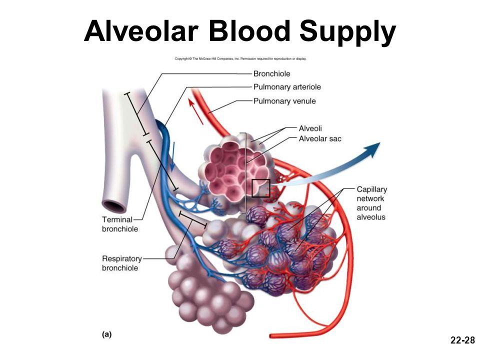 22-28 Alveolar Blood Supply